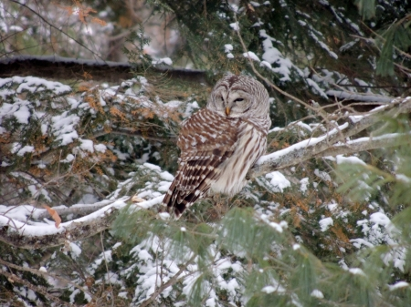 Cute Little Owl - Winter, Barred Owl, Tree, Photography, Snow, Bird