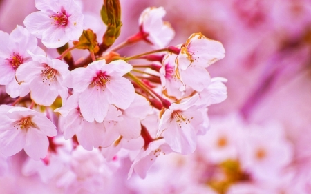 Cherry Blossom in Spring - sakura, love four seasons, flowers, photography, spring, pink, nature