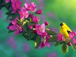 Goldfinch on Pink Branches