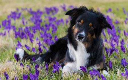 Border Collie - caine, animal, border collie, spring, crocus, black, pink, cute, puppy, dog, purple, flower, white