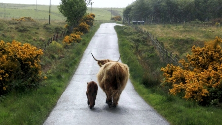 Wanderers - landscape, calf, cow, road, countryside