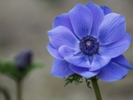 Beautiful Blue Anemone