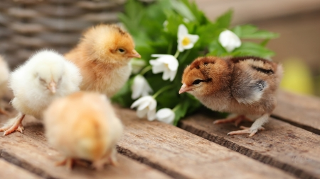 Spring Chicks - Easter, chicks, chickens, flowers, spring, boards