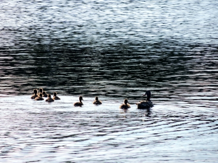 Mom And Her Young - Ducks, Lake, Babies, Photography, Lale, Mom, Mallards