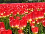 Carpet of Red Tulips