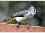 Tufted Titmouse F