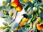 Northern Oriole F