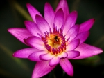 Bee on a Pink Water Lily F