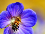 Honey Bee on Blue Flower