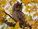 Owl in Autumn