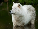 White Wolf in Water