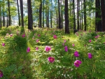 Peonies on the Forest Meadow
