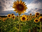 Bright Light on Sunflowers Field