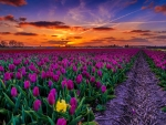 Sunset tulips