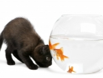 Black kitten and goldfish