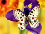 Spotted Butterfly on Purple Flower