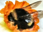 Bumblebee on an Orange Flower