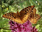 Butterflies on Lilacs FC