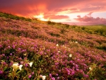 Pink Wildflowers on the Sunset