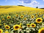 Sunflower Fields of Tuscany, Italy