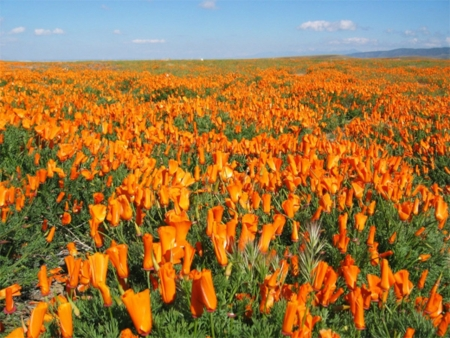 Poppies Field in California  - desert, field, flowers, poppies, nature