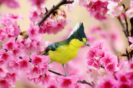 Bird - fuyi chen, flower, spring, bird, pink, blossom, pasare, yellow