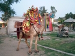 Camel at Kalar Kahar,Pakistan