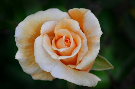 For You - one, rose, beautiful, orange