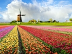 Tulip Flower Fields in Holland