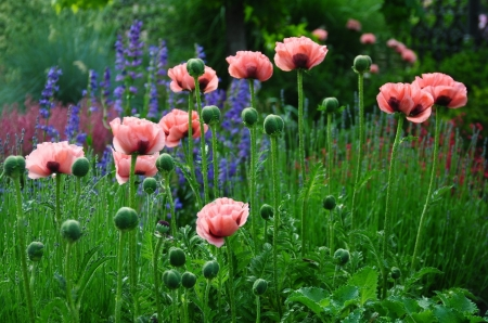 Colorful Poppy Flowers - Pink, Flowers, Poppies, Nature, Spring