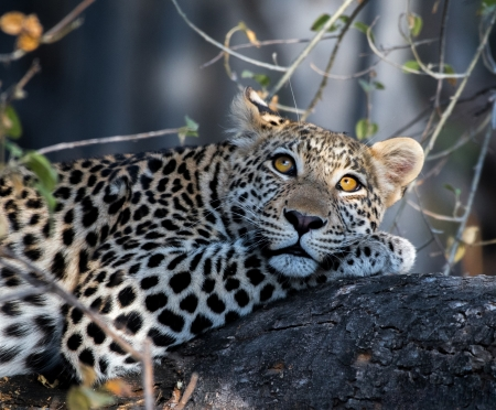 Resting in a tree - wild, cats, animals, spots, resting, tree, leopards