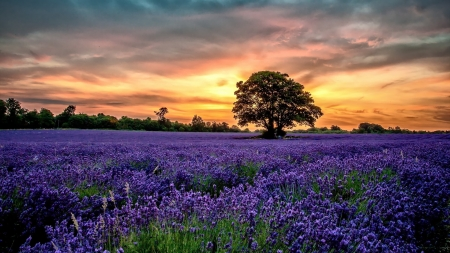 Golden Sunset over the Lavender Field - sunset, field, lavender, trees, clouds, nature