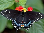 Black Butterfly on a Tiny red Flowers