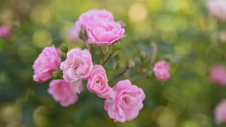 Small Pink Bloosoms - flowers, nature, roses, pink