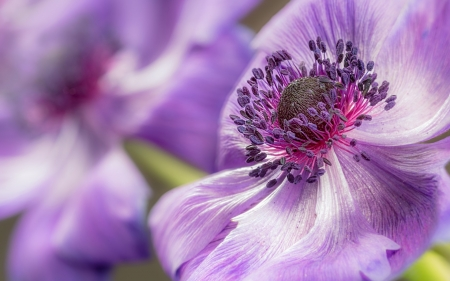 Anemone - macro, anemone, pink, close-up, flower