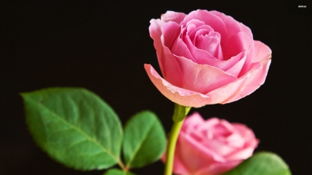 pink rose - leaf, rose, plant, flower