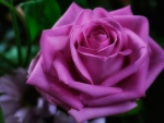 Pure Pink Rose