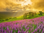 Sunset Rainbow over Lupine Field
