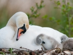 Mute Swan and Her Cygnets