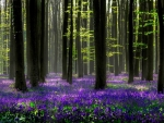 Hyacinth in Enchanted Forest