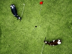 Golfing cows