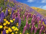 Hillside Flowers of Daisies & Lupines