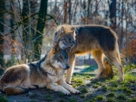 Wolves Couple