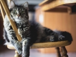 Cute Fluffy Kitten on the Chair
