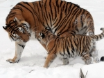 Tigers in Snow
