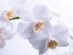 Orchids White