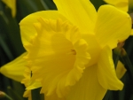 Daffodil bloom