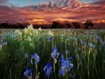 Meadow of irises at sunset