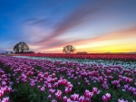 White and Purple Tulips Field