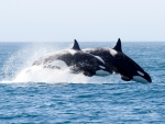 Orca Whales in the Wild
